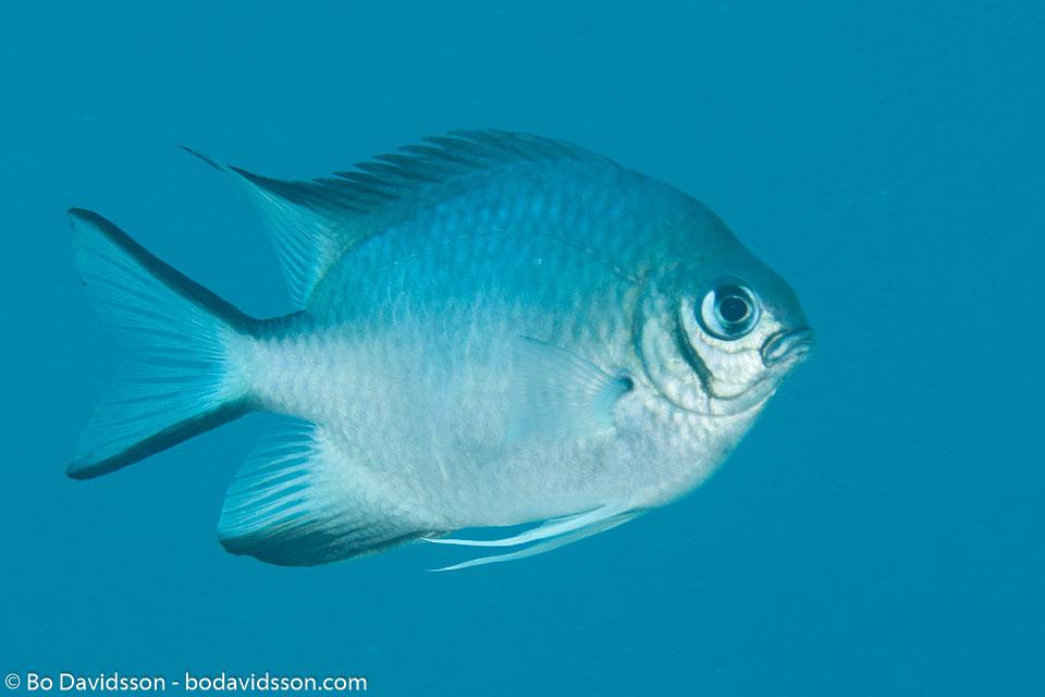 BD-120424-Marsa-Alam-6403-Amblyglyphidodon-leucogaster-(Bleeker.-1847)-[Whitebelly-damselfish].jpg
